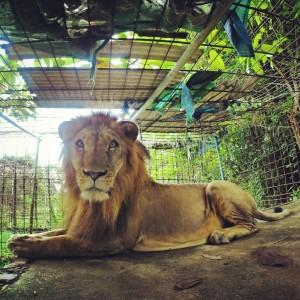 Зоопарки в Камбодже это отдельная история. Тут можно ездить на мотоцикле, кормить животных, заходить в вольеры - никого не волнует. Я кормил с рук этого льва и даже гладил его.